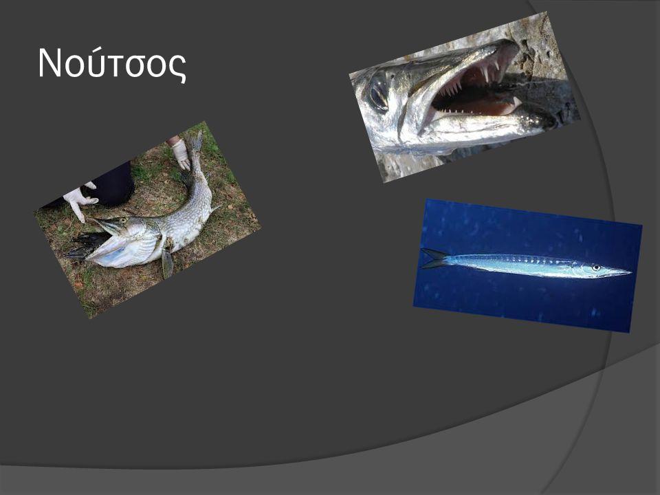 Πληροφορίες για το νούτσο  Χρειάζεται νερό, αλλά όχι συνέχεια  Τρώει μικρότερα ψαράκια  Κολυμπάει πάρα πολύ γρήγορα  Έχει κοφτερά δόντια