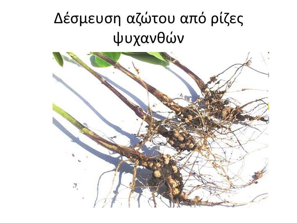 Δέσμευση αζώτου από ρίζες ψυχανθών