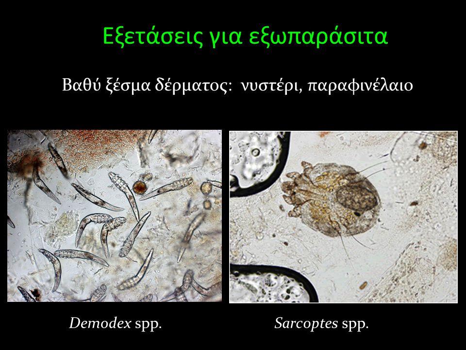 Εξετάσεις για εξωπαράσιτα Βαθύ ξέσμα δέρματος: νυστέρι, παραφινέλαιο Demodex spp.Sarcoptes spp.