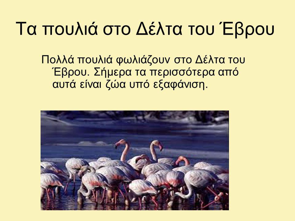 Τα πουλιά στο Δέλτα του Έβρου Πολλά πουλιά φωλιάζουν στο Δέλτα του Έβρου.