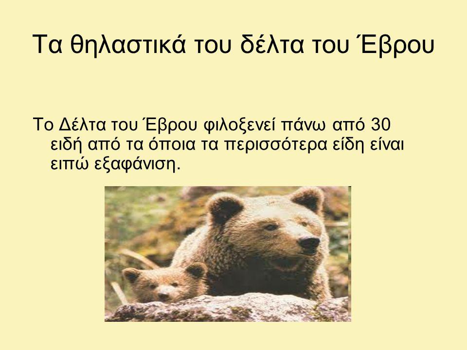 Τα θηλαστικά του δέλτα του Έβρου Το Δέλτα του Έβρου φιλοξενεί πάνω από 30 ειδή από τα όποια τα περισσότερα είδη είναι ειπώ εξαφάνιση.