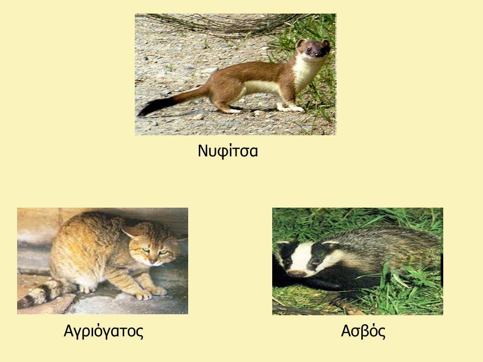 Νυφίτσα ΑγριόγατοςΑσβός