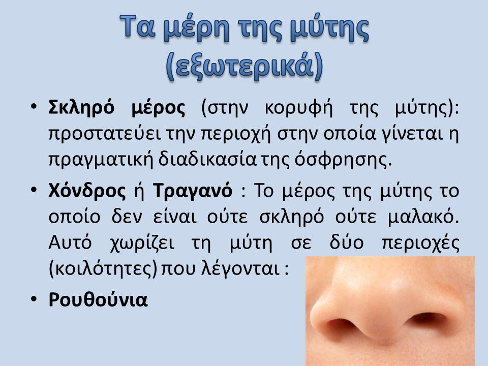 • Σκληρό μέρος (στην κορυφή της μύτης): προστατεύει την περιοχή στην οποία γίνεται η πραγματική διαδικασία της όσφρησης. • Χόνδρος ή Τραγανό : Το μέρο