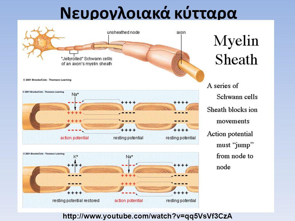 Νευρογλοιακά κύτταρα http://www.youtube.com/watch?v=qq5VsVf3CzA