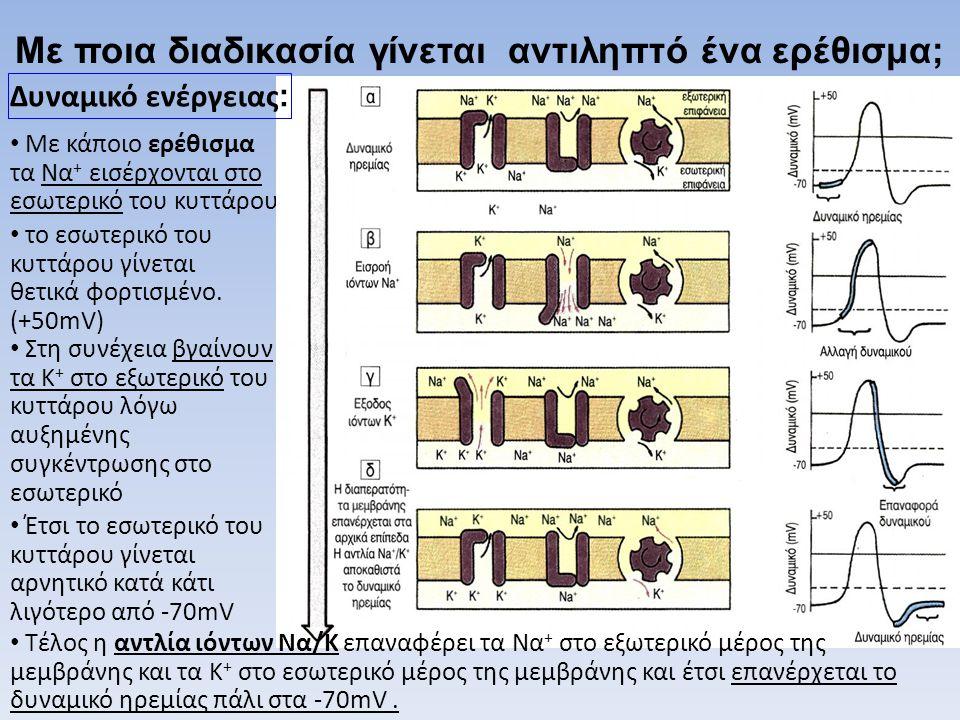 • Με κάποιο ερέθισμα τα Να + εισέρχονται στο εσωτερικό του κυττάρου Με ποια διαδικασία γίνεται αντιληπτό ένα ερέθισμα; • το εσωτερικό του κυττάρου γίν
