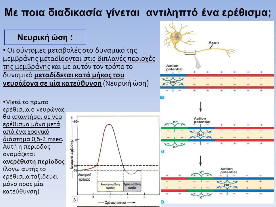 • Οι σύντομες μεταβολές στο δυναμικό της μεμβράνης μεταδίδονται στις διπλανές περιοχές της μεμβράνης και με αυτόν τον τρόπο το δυναμικό μεταδίδεται κα
