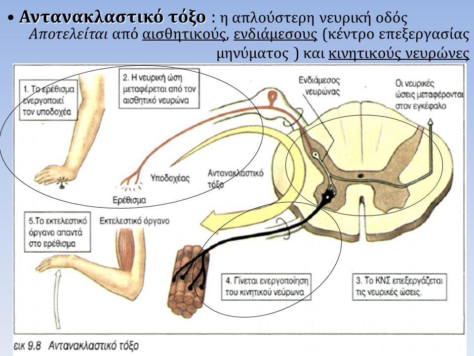 Αποτελείται από αισθητικούς, ενδιάμεσους (κέντρο επεξεργασίας μηνύματος ) και κινητικούς νευρώνες Αντανακλαστικό τόξο • Αντανακλαστικό τόξο : η απλούσ