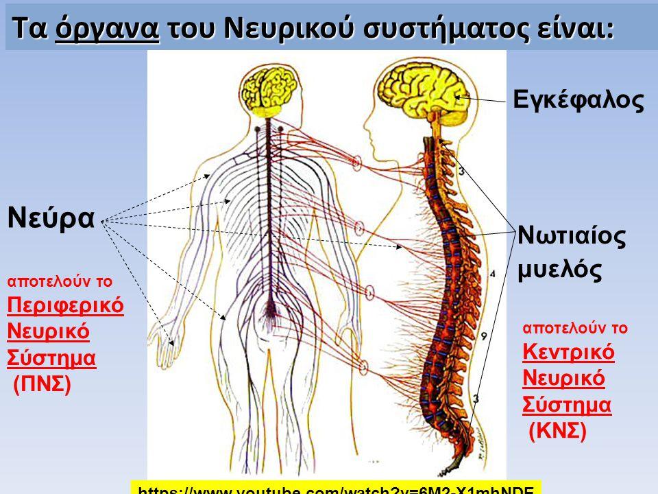 Τα όργανα του Νευρικού συστήματος είναι: Εγκέφαλος Νωτιαίος μυελός Νεύρα αποτελούν το Περιφερικό Νευρικό Σύστημα (ΠΝΣ) αποτελούν το Κεντρικό Νευρικό Σ