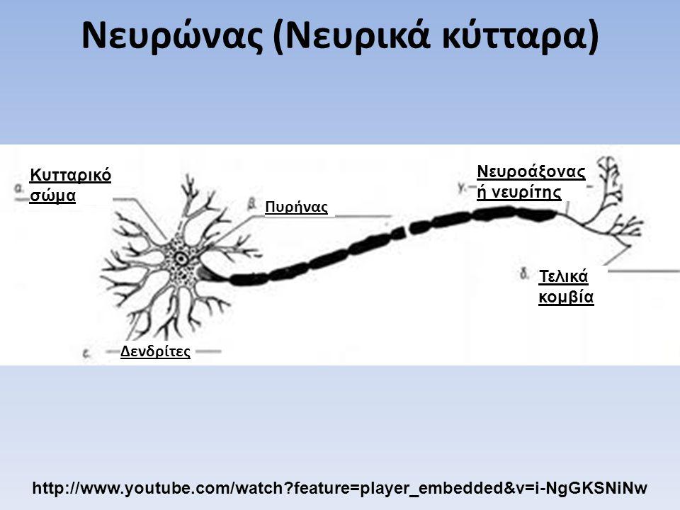 Δενδρίτες Κυτταρικό σώμα Πυρήνας Νευροάξονας ή νευρίτης Τελικά κομβία Νευρώνας (Νευρικά κύτταρα) http://www.youtube.com/watch?feature=player_embedded&