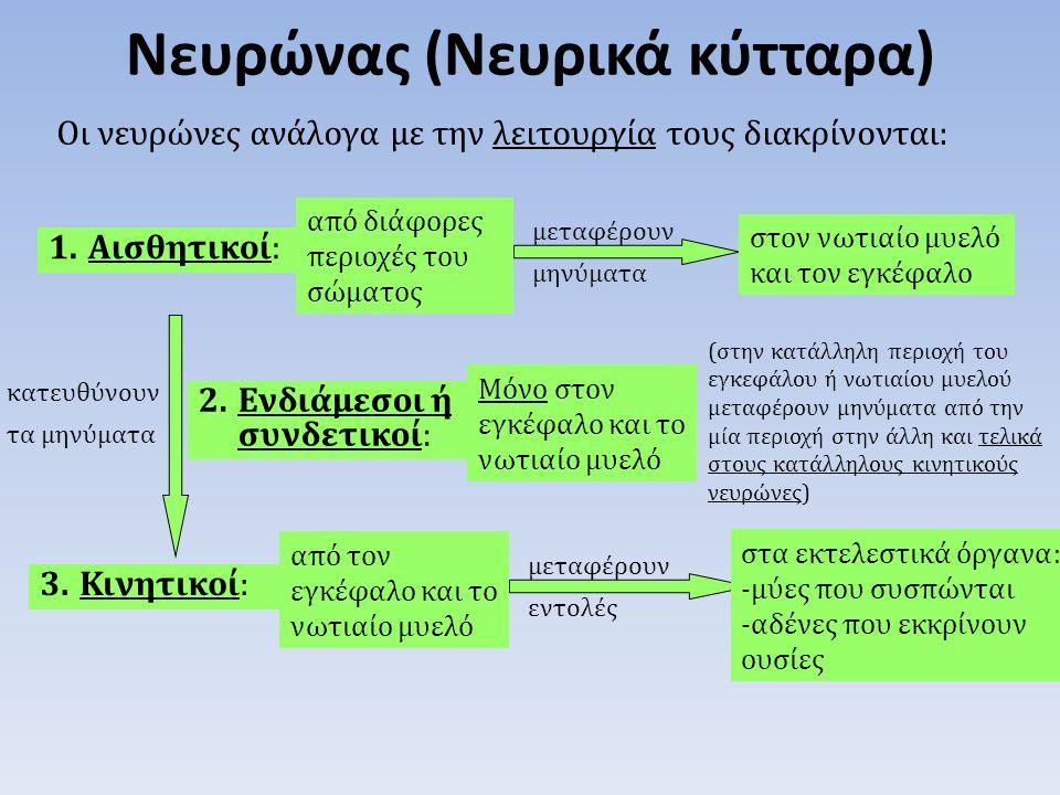 Οι νευρώνες ανάλογα με την λειτουργία τους διακρίνονται: Νευρώνας (Νευρικά κύτταρα) 1.Αισθητικοί: μεταφέρουν μηνύματα από διάφορες περιοχές του σώματο