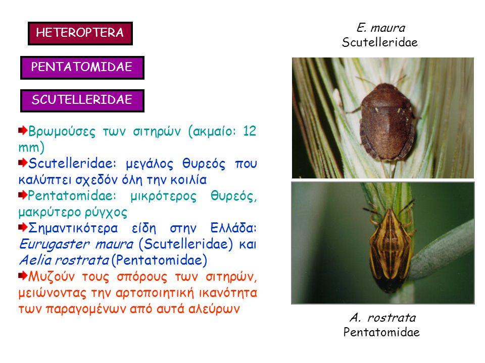 HETEROPTERA PENTATOMIDAE SCUTELLERIDAE Βρωμούσες των σιτηρών (ακμαίο: 12 mm) Scutelleridae: μεγάλος θυρεός που καλύπτει σχεδόν όλη την κοιλία Pentatomidae: μικρότερος θυρεός, μακρύτερο ρύγχος Σημαντικότερα είδη στην Ελλάδα: Eurugaster maura (Scutelleridae) και Aelia rostrata (Pentatomidae) Μυζούν τους σπόρους των σιτηρών, μειώνοντας την αρτοποιητική ικανότητα των παραγομένων από αυτά αλεύρων Βρωμούσες των σιτηρών (ακμαίο: 12 mm) Scutelleridae: μεγάλος θυρεός που καλύπτει σχεδόν όλη την κοιλία Pentatomidae: μικρότερος θυρεός, μακρύτερο ρύγχος Σημαντικότερα είδη στην Ελλάδα: Eurugaster maura (Scutelleridae) και Aelia rostrata (Pentatomidae) Μυζούν τους σπόρους των σιτηρών, μειώνοντας την αρτοποιητική ικανότητα των παραγομένων από αυτά αλεύρων E.