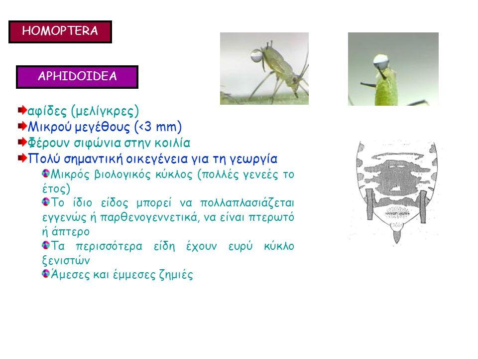 HOMOPTERA APHIDOIDEA αφίδες (μελίγκρες) Μικρού μεγέθους (<3 mm) Φέρουν σιφώνια στην κοιλία Πολύ σημαντική οικεγένεια για τη γεωργία Μικρός βιολογικός κύκλος (πολλές γενεές το έτος) Το ίδιο είδος μπορεί να πολλαπλασιάζεται εγγενώς ή παρθενογεννετικά, να είναι πτερωτό ή άπτερο Τα περισσότερα είδη έχουν ευρύ κύκλο ξενιστών Άμεσες και έμμεσες ζημιές αφίδες (μελίγκρες) Μικρού μεγέθους (<3 mm) Φέρουν σιφώνια στην κοιλία Πολύ σημαντική οικεγένεια για τη γεωργία Μικρός βιολογικός κύκλος (πολλές γενεές το έτος) Το ίδιο είδος μπορεί να πολλαπλασιάζεται εγγενώς ή παρθενογεννετικά, να είναι πτερωτό ή άπτερο Τα περισσότερα είδη έχουν ευρύ κύκλο ξενιστών Άμεσες και έμμεσες ζημιές