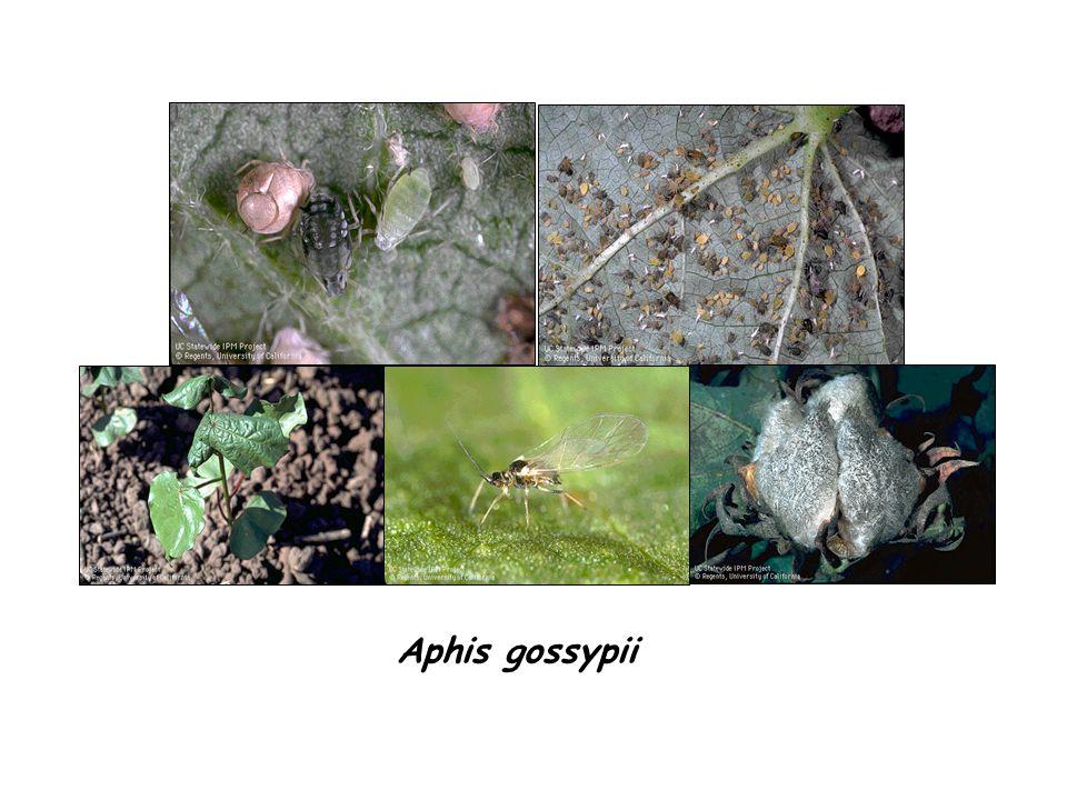 Aphis gossypii