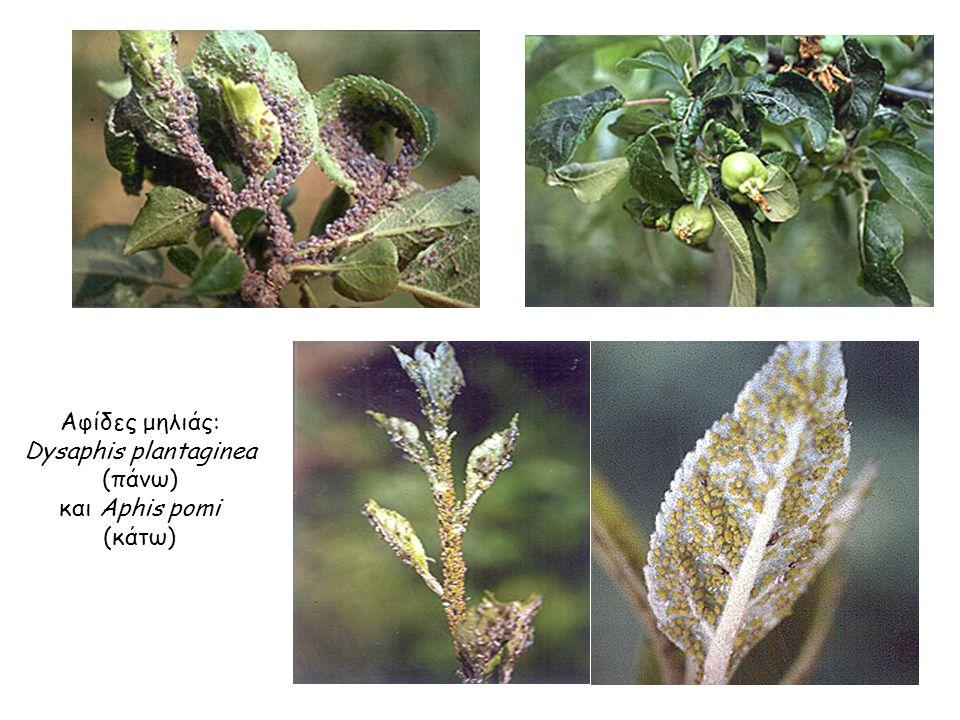 Αφίδες μηλιάς: Dysaphis plantaginea (πάνω) και Aphis pomi (κάτω) Αφίδες μηλιάς: Dysaphis plantaginea (πάνω) και Aphis pomi (κάτω)