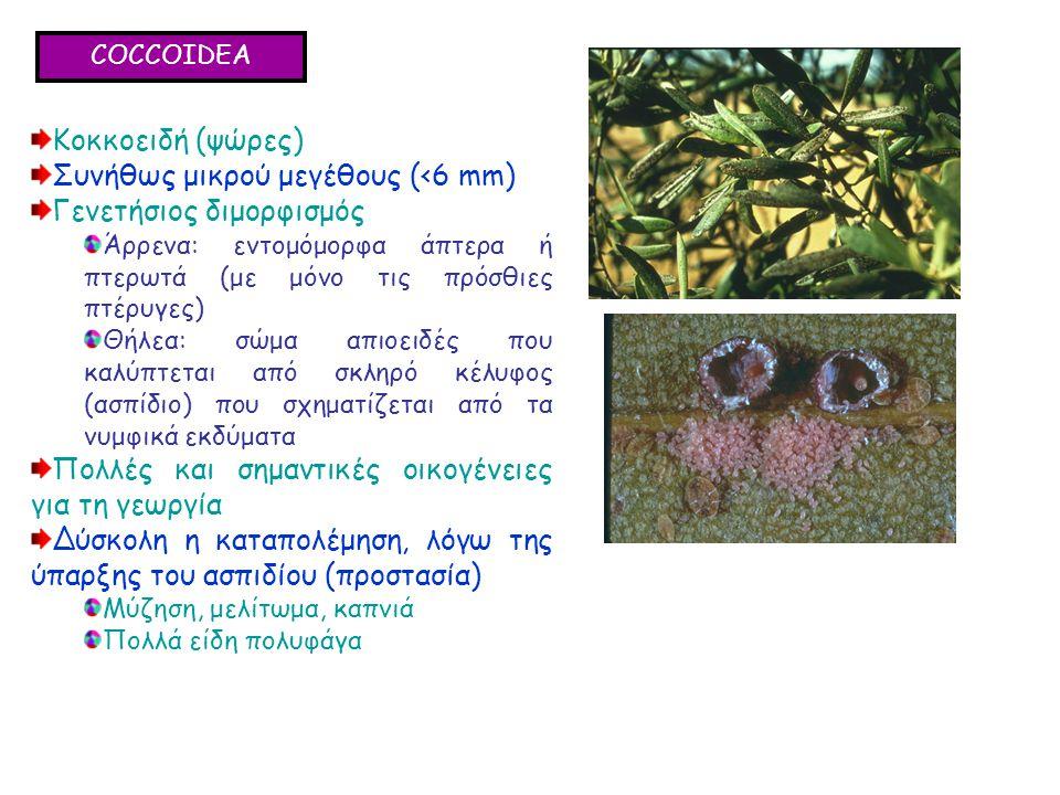 COCCOIDEA Κοκκοειδή (ψώρες) Συνήθως μικρού μεγέθους (<6 mm) Γενετήσιος διμορφισμός Άρρενα: εντομόμορφα άπτερα ή πτερωτά (με μόνο τις πρόσθιες πτέρυγες) Θήλεα: σώμα απιοειδές που καλύπτεται από σκληρό κέλυφος (ασπίδιο) που σχηματίζεται από τα νυμφικά εκδύματα Πολλές και σημαντικές οικογένειες για τη γεωργία Δύσκολη η καταπολέμηση, λόγω της ύπαρξης του ασπιδίου (προστασία) Μύζηση, μελίτωμα, καπνιά Πολλά είδη πολυφάγα Κοκκοειδή (ψώρες) Συνήθως μικρού μεγέθους (<6 mm) Γενετήσιος διμορφισμός Άρρενα: εντομόμορφα άπτερα ή πτερωτά (με μόνο τις πρόσθιες πτέρυγες) Θήλεα: σώμα απιοειδές που καλύπτεται από σκληρό κέλυφος (ασπίδιο) που σχηματίζεται από τα νυμφικά εκδύματα Πολλές και σημαντικές οικογένειες για τη γεωργία Δύσκολη η καταπολέμηση, λόγω της ύπαρξης του ασπιδίου (προστασία) Μύζηση, μελίτωμα, καπνιά Πολλά είδη πολυφάγα