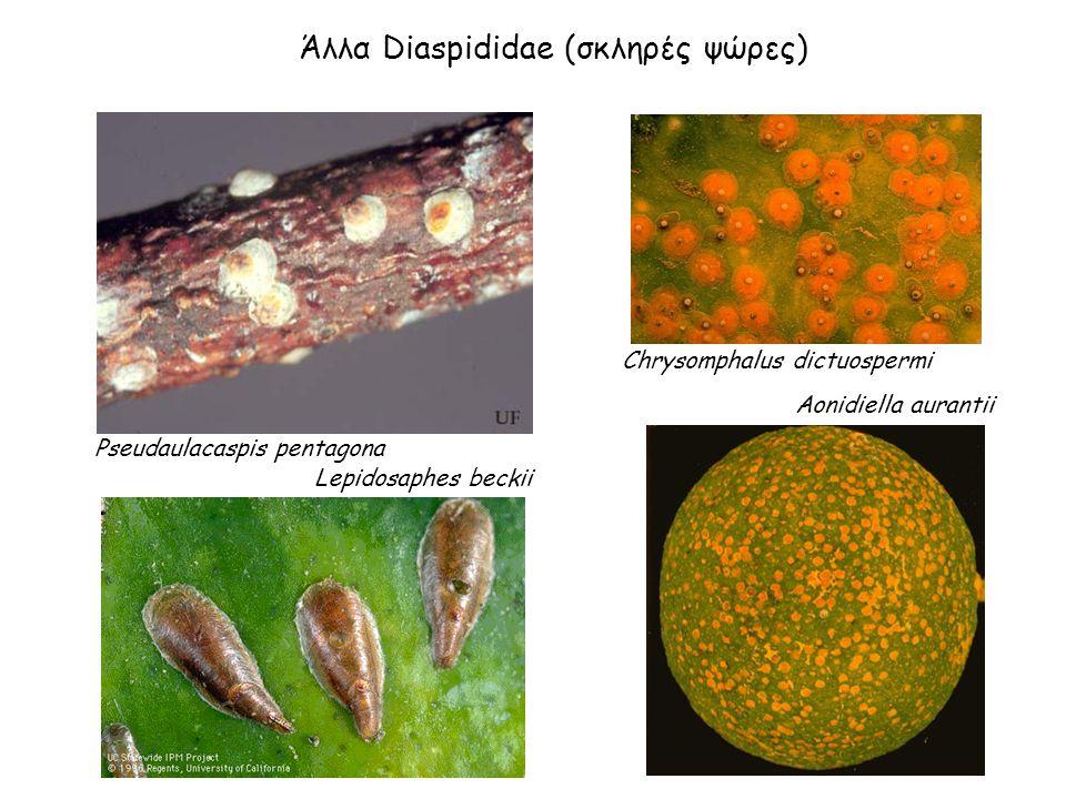 Άλλα Diaspididae (σκληρές ψώρες) Pseudaulacaspis pentagona Lepidosaphes beckii Aonidiella aurantii Chrysomphalus dictuospermi