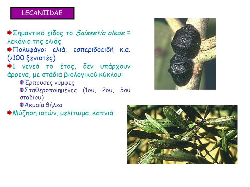 LECANIIDAE Σημαντικό είδος το Saissetia oleae = λεκάνιο της ελιάς Πολυφάγο: ελιά, εσπεριδοειδή κ.α.