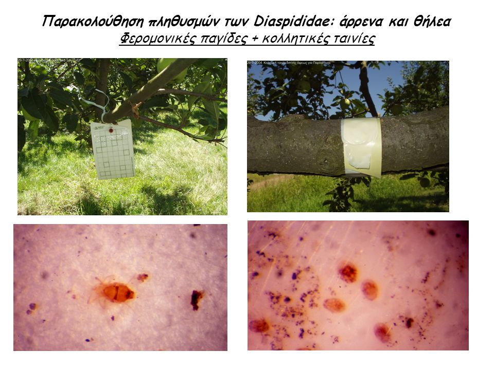 Παρακολούθηση πληθυσμών των Diaspididae: άρρενα και θήλεα Φερομονικές παγίδες + κολλητικές ταινίες