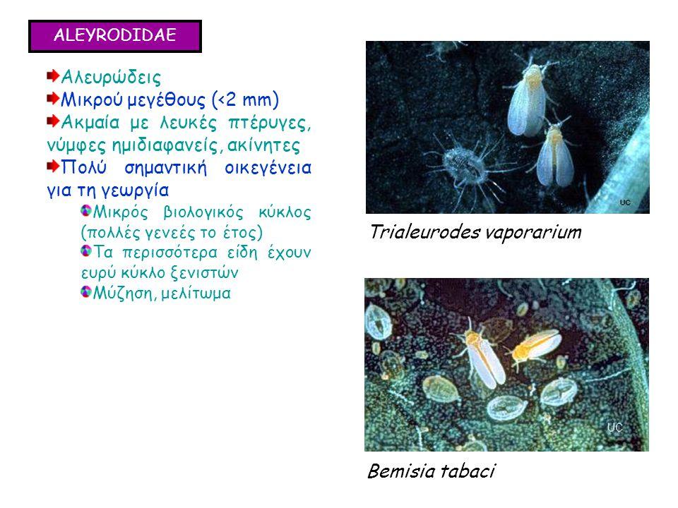 ALEYRODIDAE Αλευρώδεις Μικρού μεγέθους (<2 mm) Ακμαία με λευκές πτέρυγες, νύμφες ημιδιαφανείς, ακίνητες Πολύ σημαντική οικεγένεια για τη γεωργία Μικρός βιολογικός κύκλος (πολλές γενεές το έτος) Τα περισσότερα είδη έχουν ευρύ κύκλο ξενιστών Μύζηση, μελίτωμα Αλευρώδεις Μικρού μεγέθους (<2 mm) Ακμαία με λευκές πτέρυγες, νύμφες ημιδιαφανείς, ακίνητες Πολύ σημαντική οικεγένεια για τη γεωργία Μικρός βιολογικός κύκλος (πολλές γενεές το έτος) Τα περισσότερα είδη έχουν ευρύ κύκλο ξενιστών Μύζηση, μελίτωμα Trialeurodes vaporarium Bemisia tabaci