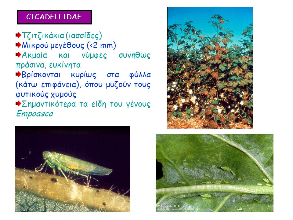 CICADELLIDAE Τζιτζικάκια (ιασσίδες) Μικρού μεγέθους (<2 mm) Ακμαία και νύμφες συνήθως πράσινα, ευκίνητα Βρίσκονται κυρίως στα φύλλα (κάτω επιφάνεια), όπου μυζούν τους φυτικούς χυμούς Σημαντικότερα τα είδη του γένους Empoasca Τζιτζικάκια (ιασσίδες) Μικρού μεγέθους (<2 mm) Ακμαία και νύμφες συνήθως πράσινα, ευκίνητα Βρίσκονται κυρίως στα φύλλα (κάτω επιφάνεια), όπου μυζούν τους φυτικούς χυμούς Σημαντικότερα τα είδη του γένους Empoasca