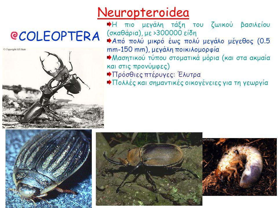 COLEOPTERA Η πιο μεγάλη τάξη του ζωικού βασιλείου (σκαθάρια), με >300000 είδη Από πολύ μικρό έως πολύ μεγάλο μέγεθος (0.5 mm-150 mm), μεγάλη ποικιλομορφία Μασητικού τύπου στοματικά μόρια (και στα ακμαία και στις προνύμφες) Πρόσθιες πτέρυγες: Έλυτρα Πολλές και σημαντικές οικογένειες για τη γεωργία Η πιο μεγάλη τάξη του ζωικού βασιλείου (σκαθάρια), με >300000 είδη Από πολύ μικρό έως πολύ μεγάλο μέγεθος (0.5 mm-150 mm), μεγάλη ποικιλομορφία Μασητικού τύπου στοματικά μόρια (και στα ακμαία και στις προνύμφες) Πρόσθιες πτέρυγες: Έλυτρα Πολλές και σημαντικές οικογένειες για τη γεωργία Neuropteroidea