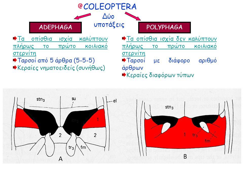 Δύο υποτάξεις Δύο υποτάξεις ADEPHAGA POLYPHAGA Τα οπίσθια ισχία καλύπτουν πλήρως το πρώτο κοιλιακό στερνίτη Ταρσοί από 5 άρθρα (5-5-5) Κεραίες νηματοειδείς (συνήθως) Τα οπίσθια ισχία καλύπτουν πλήρως το πρώτο κοιλιακό στερνίτη Ταρσοί από 5 άρθρα (5-5-5) Κεραίες νηματοειδείς (συνήθως) COLEOPTERA Τα οπίσθια ισχία δεν καλύπτουν πλήρως το πρώτο κοιλιακό στερνίτη Ταρσοί με διάφορο αριθμό άρθρων Κεραίες διαφόρων τύπων Τα οπίσθια ισχία δεν καλύπτουν πλήρως το πρώτο κοιλιακό στερνίτη Ταρσοί με διάφορο αριθμό άρθρων Κεραίες διαφόρων τύπων