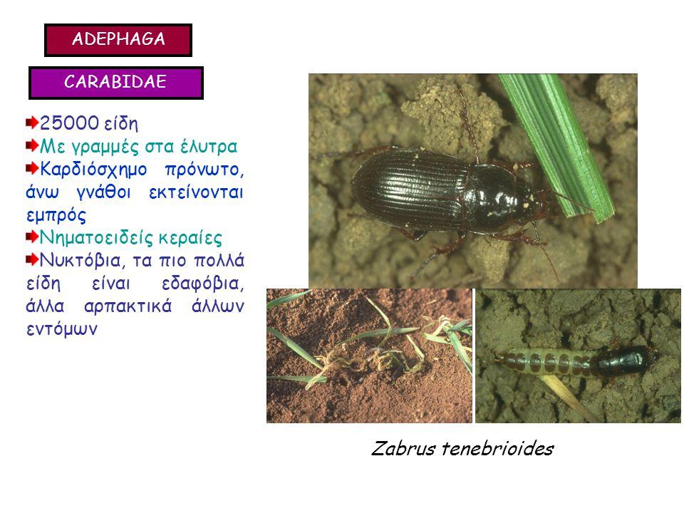 ADEPHAGA CARABIDAE 25000 είδη Με γραμμές στα έλυτρα Καρδιόσχημο πρόνωτο, άνω γνάθοι εκτείνονται εμπρός Νηματοειδείς κεραίες Νυκτόβια, τα πιο πολλά είδη είναι εδαφόβια, άλλα αρπακτικά άλλων εντόμων 25000 είδη Με γραμμές στα έλυτρα Καρδιόσχημο πρόνωτο, άνω γνάθοι εκτείνονται εμπρός Νηματοειδείς κεραίες Νυκτόβια, τα πιο πολλά είδη είναι εδαφόβια, άλλα αρπακτικά άλλων εντόμων Zabrus tenebrioides