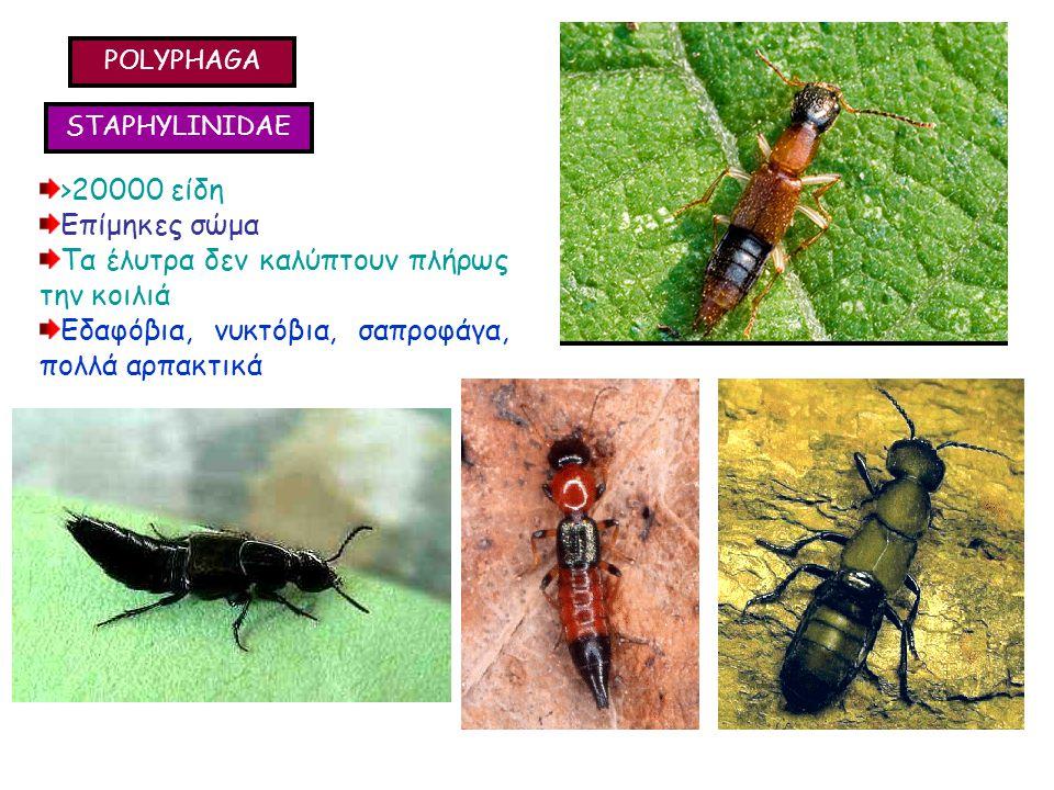 POLYPHAGA STAPHYLINIDAE >20000 είδη Επίμηκες σώμα Τα έλυτρα δεν καλύπτουν πλήρως την κοιλιά Εδαφόβια, νυκτόβια, σαπροφάγα, πολλά αρπακτικά >20000 είδη Επίμηκες σώμα Τα έλυτρα δεν καλύπτουν πλήρως την κοιλιά Εδαφόβια, νυκτόβια, σαπροφάγα, πολλά αρπακτικά