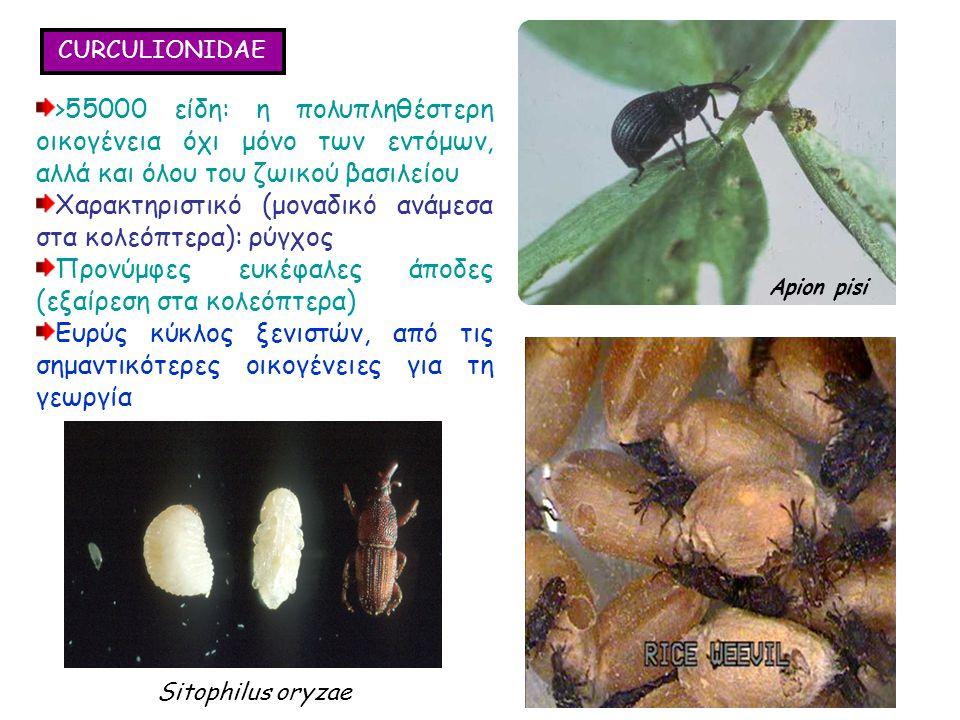 CURCULIONIDAE >55000 είδη: η πολυπληθέστερη οικογένεια όχι μόνο των εντόμων, αλλά και όλου του ζωικού βασιλείου Χαρακτηριστικό (μοναδικό ανάμεσα στα κολεόπτερα): ρύγχος Προνύμφες ευκέφαλες άποδες (εξαίρεση στα κολεόπτερα) Ευρύς κύκλος ξενιστών, από τις σημαντικότερες οικογένειες για τη γεωργία >55000 είδη: η πολυπληθέστερη οικογένεια όχι μόνο των εντόμων, αλλά και όλου του ζωικού βασιλείου Χαρακτηριστικό (μοναδικό ανάμεσα στα κολεόπτερα): ρύγχος Προνύμφες ευκέφαλες άποδες (εξαίρεση στα κολεόπτερα) Ευρύς κύκλος ξενιστών, από τις σημαντικότερες οικογένειες για τη γεωργία Sitophilus oryzae Apion pisi