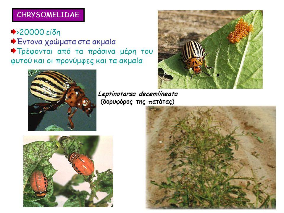 CHRYSOMELIDAE >20000 είδη Έντονα χρώματα στα ακμαία Τρέφονται από τα πράσινα μέρη του φυτού και οι προνύμφες και τα ακμαία >20000 είδη Έντονα χρώματα στα ακμαία Τρέφονται από τα πράσινα μέρη του φυτού και οι προνύμφες και τα ακμαία Leptinotarsa decemlineata (δορυφόρος της πατάτας)
