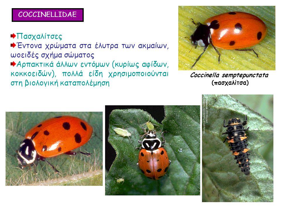 COCCINELLIDAE Πασχαλίτσες Έντονα χρώματα στα έλυτρα των ακμαίων, ωοειδές σχήμα σώματος Αρπακτικά άλλων εντόμων (κυρίως αφίδων, κοκκοειδών), πολλά είδη χρησιμοποιούνται στη βιολογική καταπολέμηση Πασχαλίτσες Έντονα χρώματα στα έλυτρα των ακμαίων, ωοειδές σχήμα σώματος Αρπακτικά άλλων εντόμων (κυρίως αφίδων, κοκκοειδών), πολλά είδη χρησιμοποιούνται στη βιολογική καταπολέμηση Coccinella semptepunctata (πασχαλίτσα)