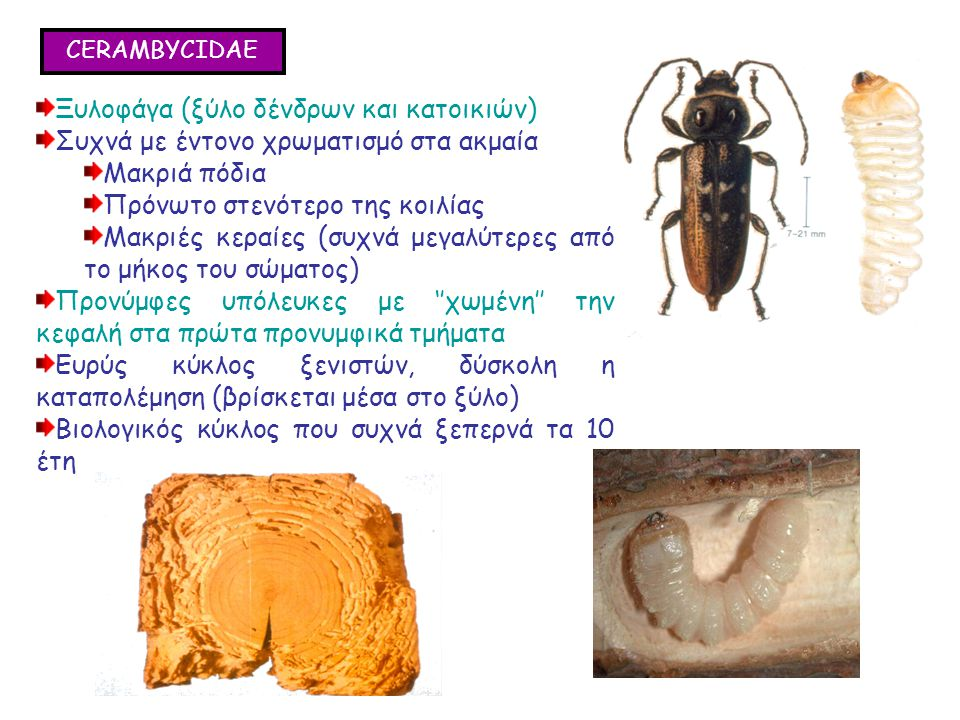 CERAMBYCIDAE Ξυλοφάγα (ξύλο δένδρων και κατοικιών) Συχνά με έντονο χρωματισμό στα ακμαία Μακριά πόδια Πρόνωτο στενότερο της κοιλίας Μακριές κεραίες (συχνά μεγαλύτερες από το μήκος του σώματος) Προνύμφες υπόλευκες με ''χωμένη'' την κεφαλή στα πρώτα προνυμφικά τμήματα Ευρύς κύκλος ξενιστών, δύσκολη η καταπολέμηση (βρίσκεται μέσα στο ξύλο) Βιολογικός κύκλος που συχνά ξεπερνά τα 10 έτη Ξυλοφάγα (ξύλο δένδρων και κατοικιών) Συχνά με έντονο χρωματισμό στα ακμαία Μακριά πόδια Πρόνωτο στενότερο της κοιλίας Μακριές κεραίες (συχνά μεγαλύτερες από το μήκος του σώματος) Προνύμφες υπόλευκες με ''χωμένη'' την κεφαλή στα πρώτα προνυμφικά τμήματα Ευρύς κύκλος ξενιστών, δύσκολη η καταπολέμηση (βρίσκεται μέσα στο ξύλο) Βιολογικός κύκλος που συχνά ξεπερνά τα 10 έτη