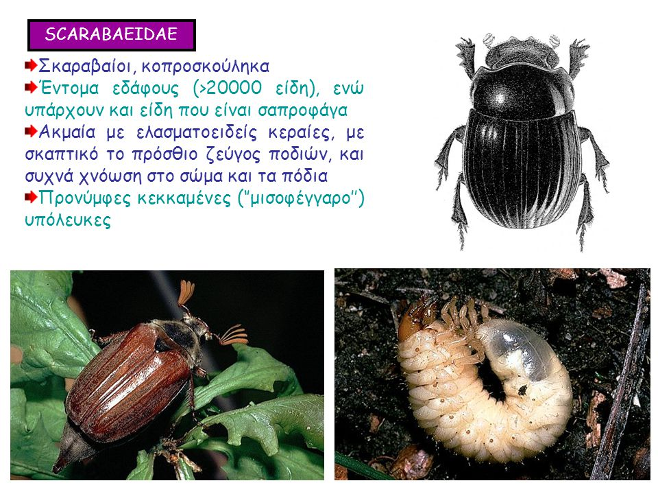 SCARABAEIDAE Σκαραβαίοι, κοπροσκούληκα Έντομα εδάφους (>20000 είδη), ενώ υπάρχουν και είδη που είναι σαπροφάγα Ακμαία με ελασματοειδείς κεραίες, με σκαπτικό το πρόσθιο ζεύγος ποδιών, και συχνά χνόωση στο σώμα και τα πόδια Προνύμφες κεκκαμένες (''μισοφέγγαρο'') υπόλευκες Σκαραβαίοι, κοπροσκούληκα Έντομα εδάφους (>20000 είδη), ενώ υπάρχουν και είδη που είναι σαπροφάγα Ακμαία με ελασματοειδείς κεραίες, με σκαπτικό το πρόσθιο ζεύγος ποδιών, και συχνά χνόωση στο σώμα και τα πόδια Προνύμφες κεκκαμένες (''μισοφέγγαρο'') υπόλευκες