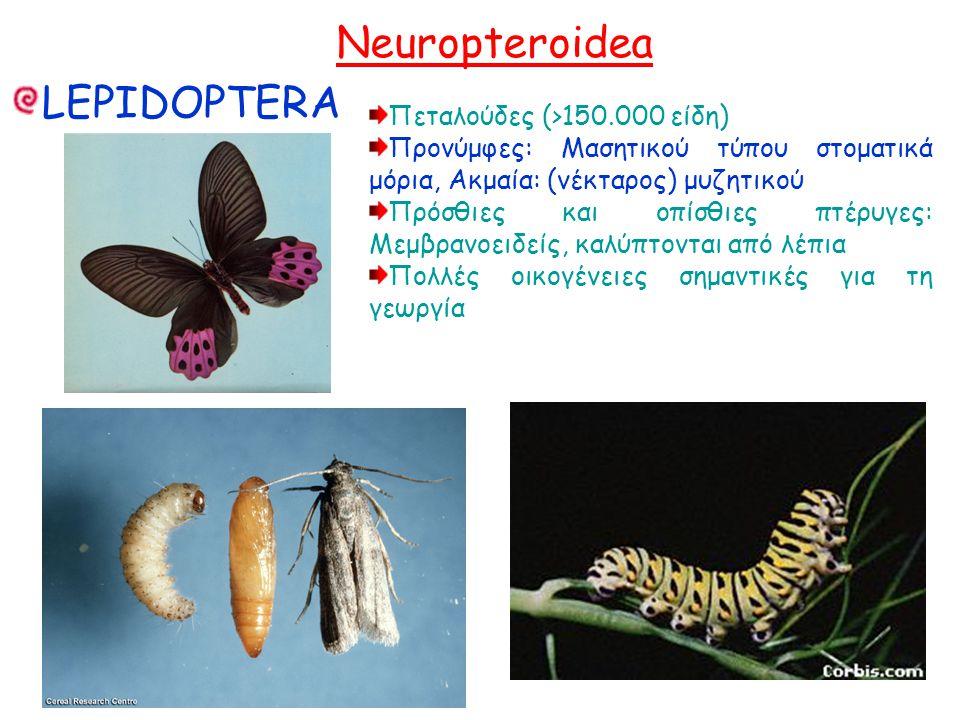 Neuropteroidea LEPIDOPTERA Πεταλούδες (>150.000 είδη) Προνύμφες: Μασητικού τύπου στοματικά μόρια, Ακμαία: (νέκταρος) μυζητικού Πρόσθιες και οπίσθιες πτέρυγες: Μεμβρανοειδείς, καλύπτονται από λέπια Πολλές οικογένειες σημαντικές για τη γεωργία Πεταλούδες (>150.000 είδη) Προνύμφες: Μασητικού τύπου στοματικά μόρια, Ακμαία: (νέκταρος) μυζητικού Πρόσθιες και οπίσθιες πτέρυγες: Μεμβρανοειδείς, καλύπτονται από λέπια Πολλές οικογένειες σημαντικές για τη γεωργία