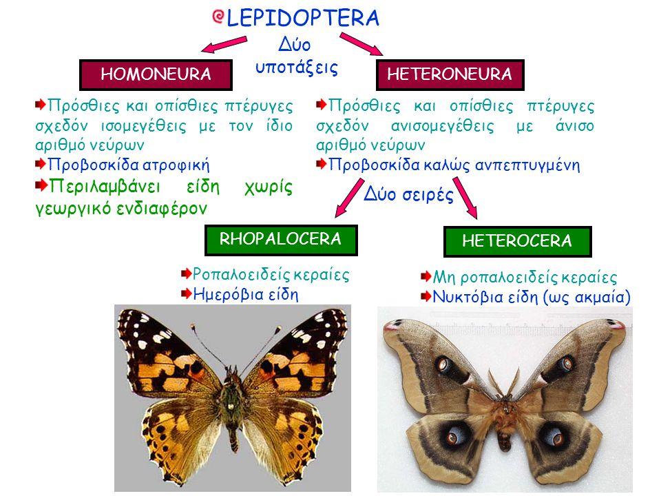 Δύο υποτάξεις Δύο υποτάξεις HOMONEURA HETERONEURA Πρόσθιες και οπίσθιες πτέρυγες σχεδόν ισομεγέθεις με τον ίδιο αριθμό νεύρων Προβοσκίδα ατροφική Περιλαμβάνει είδη χωρίς γεωργικό ενδιαφέρον Πρόσθιες και οπίσθιες πτέρυγες σχεδόν ισομεγέθεις με τον ίδιο αριθμό νεύρων Προβοσκίδα ατροφική Περιλαμβάνει είδη χωρίς γεωργικό ενδιαφέρον LEPIDOPTERA Πρόσθιες και οπίσθιες πτέρυγες σχεδόν ανισομεγέθεις με άνισο αριθμό νεύρων Προβοσκίδα καλώς ανπεπτυγμένη Πρόσθιες και οπίσθιες πτέρυγες σχεδόν ανισομεγέθεις με άνισο αριθμό νεύρων Προβοσκίδα καλώς ανπεπτυγμένη Δύο σειρές RHOPALOCERA HETEROCERA Ροπαλοειδείς κεραίες Ημερόβια είδη Ροπαλοειδείς κεραίες Ημερόβια είδη Μη ροπαλοειδείς κεραίες Νυκτόβια είδη (ως ακμαία) Μη ροπαλοειδείς κεραίες Νυκτόβια είδη (ως ακμαία)