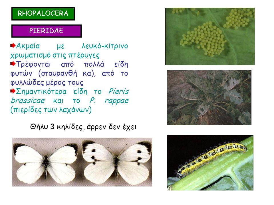 RHOPALOCERA PIERIDAE Ακμαία με λευκό-κίτρινο χρωματισμό στις πτέρυγες Τρέφονται από πολλά είδη φυτών (σταυρανθή κα), από το φυλλώδες μέρος τους Σημαντικότερα είδη το Pieris brassicae και το P.
