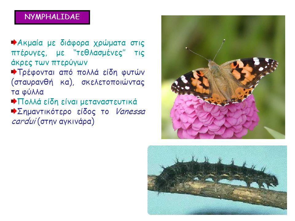 NYMPHALIDAE Ακμαία με διάφορα χρώματα στις πτέρυγες, με ''τεθλασμένες'' τις άκρες των πτερύγων Τρέφονται από πολλά είδη φυτών (σταυρανθή κα), σκελετοποιώντας τα φύλλα Πολλά είδη είναι μεταναστευτικά Σημαντικότερο είδος το Vanessa cardui (στην αγκινάρα) Ακμαία με διάφορα χρώματα στις πτέρυγες, με ''τεθλασμένες'' τις άκρες των πτερύγων Τρέφονται από πολλά είδη φυτών (σταυρανθή κα), σκελετοποιώντας τα φύλλα Πολλά είδη είναι μεταναστευτικά Σημαντικότερο είδος το Vanessa cardui (στην αγκινάρα)