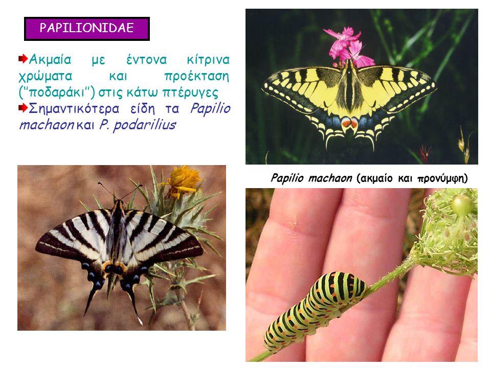 PAPILIONIDAE Ακμαία με έντονα κίτρινα χρώματα και προέκταση (''ποδαράκι'') στις κάτω πτέρυγες Σημαντικότερα είδη τα Papilio machaon και P.