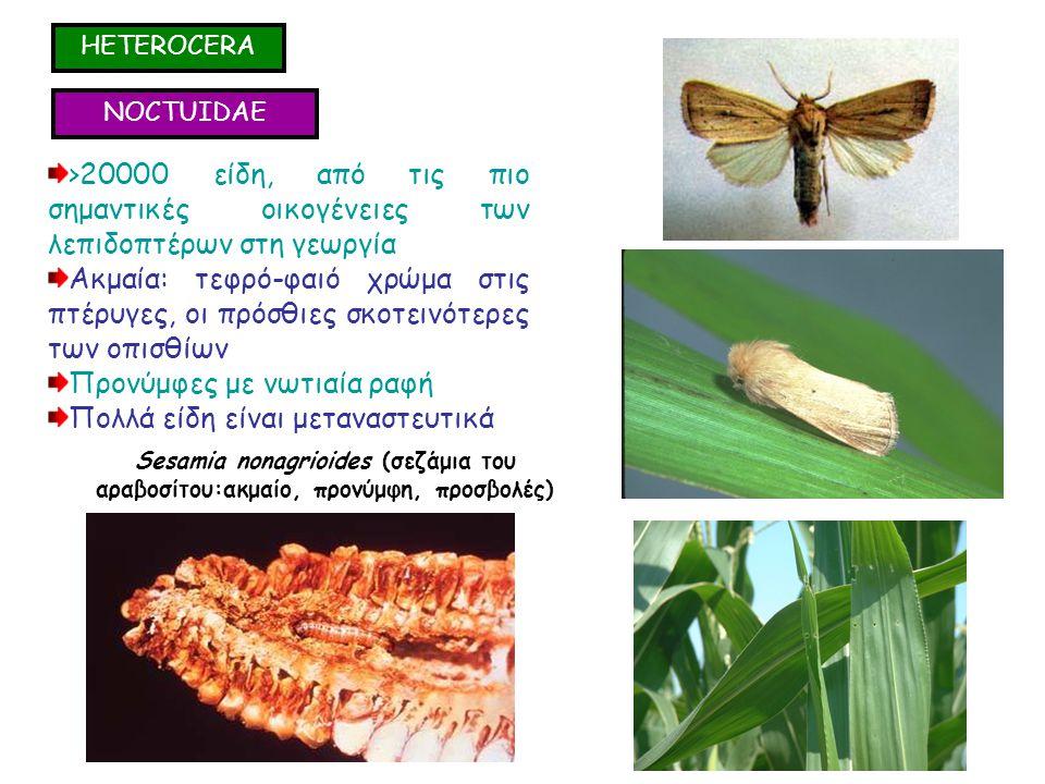 NOCTUIDAE >20000 είδη, από τις πιο σημαντικές οικογένειες των λεπιδοπτέρων στη γεωργία Ακμαία: τεφρό-φαιό χρώμα στις πτέρυγες, οι πρόσθιες σκοτεινότερες των οπισθίων Προνύμφες με νωτιαία ραφή Πολλά είδη είναι μεταναστευτικά >20000 είδη, από τις πιο σημαντικές οικογένειες των λεπιδοπτέρων στη γεωργία Ακμαία: τεφρό-φαιό χρώμα στις πτέρυγες, οι πρόσθιες σκοτεινότερες των οπισθίων Προνύμφες με νωτιαία ραφή Πολλά είδη είναι μεταναστευτικά Sesamia nonagrioides (σεζάμια του αραβοσίτου:ακμαίο, προνύμφη, προσβολές) HETEROCERA