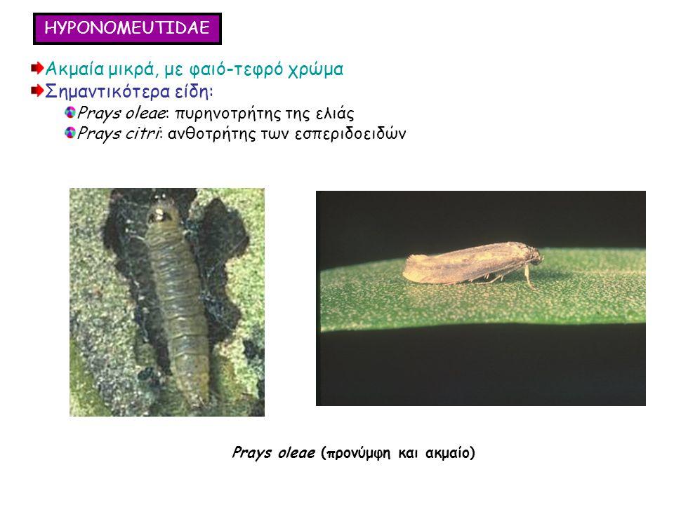 HYPONOMEUTIDAE Ακμαία μικρά, με φαιό-τεφρό χρώμα Σημαντικότερα είδη: Prays oleae: πυρηνοτρήτης της ελιάς Prays citri: ανθοτρήτης των εσπεριδοειδών Ακμαία μικρά, με φαιό-τεφρό χρώμα Σημαντικότερα είδη: Prays oleae: πυρηνοτρήτης της ελιάς Prays citri: ανθοτρήτης των εσπεριδοειδών Prays oleae (προνύμφη και ακμαίο)