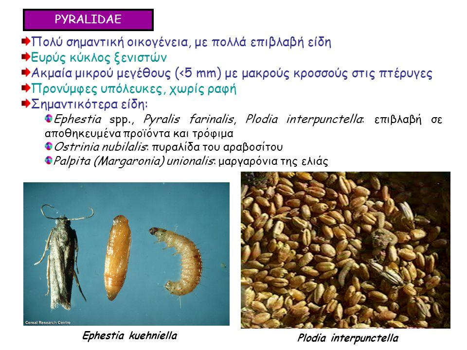 PYRALIDAE Πολύ σημαντική οικογένεια, με πολλά επιβλαβή είδη Ευρύς κύκλος ξενιστών Ακμαία μικρού μεγέθους (<5 mm) με μακρούς κροσσούς στις πτέρυγες Προνύμφες υπόλευκες, χωρίς ραφή Σημαντικότερα είδη: Ephestia spp., Pyralis farinalis, Plodia interpunctella: επιβλαβή σε αποθηκευμένα προϊόντα και τρόφιμα Ostrinia nubilalis: πυραλίδα του αραβοσίτου Palpita (Margaronia) unionalis: μαργαρόνια της ελιάς Πολύ σημαντική οικογένεια, με πολλά επιβλαβή είδη Ευρύς κύκλος ξενιστών Ακμαία μικρού μεγέθους (<5 mm) με μακρούς κροσσούς στις πτέρυγες Προνύμφες υπόλευκες, χωρίς ραφή Σημαντικότερα είδη: Ephestia spp., Pyralis farinalis, Plodia interpunctella: επιβλαβή σε αποθηκευμένα προϊόντα και τρόφιμα Ostrinia nubilalis: πυραλίδα του αραβοσίτου Palpita (Margaronia) unionalis: μαργαρόνια της ελιάς Ephestia kuehniella Plodia interpunctella