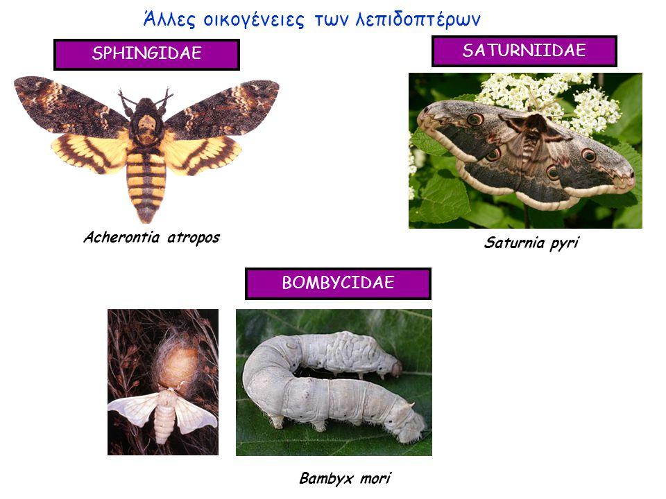 Άλλες οικογένειες των λεπιδοπτέρων SPHINGIDAE SATURNIIDAE BOMBYCIDAE Acherontia atropos Saturnia pyri Bambyx mori