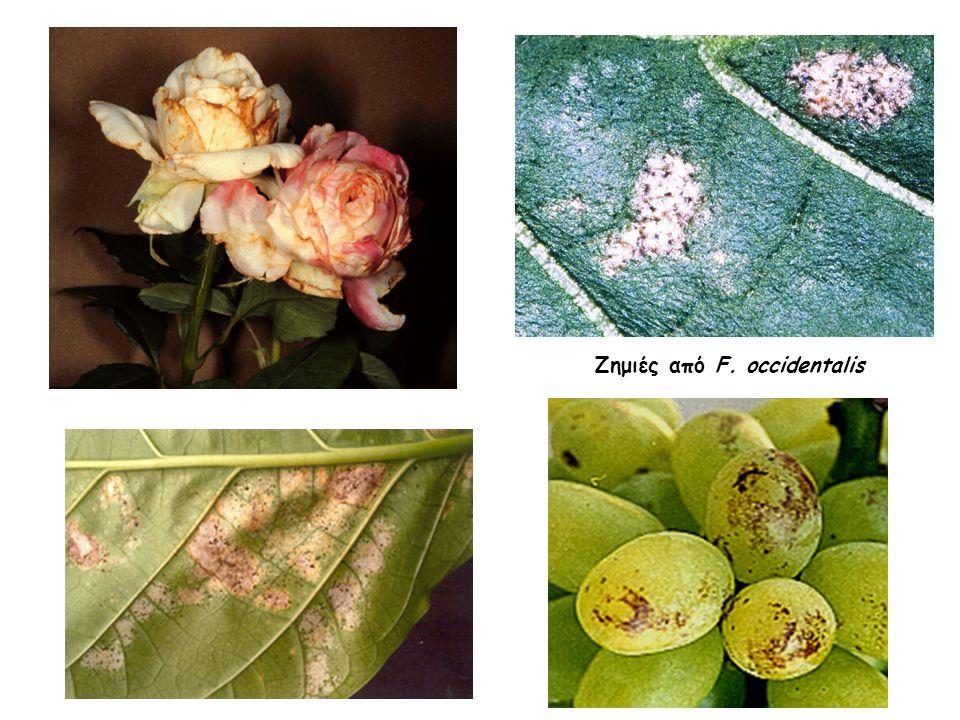 Ζημιές από F. occidentalis