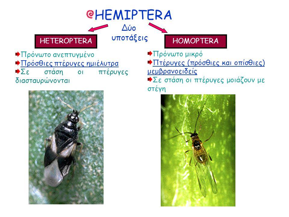 Δύο υποτάξεις Δύο υποτάξεις HETEROPTERA HOMOPTERA Πρόνωτο ανεπτυγμένο Πρόσθιες πτέρυγες ημιέλυτρα Σε στάση οι πτέρυγες διασταυρώνονται Πρόνωτο ανεπτυγμένο Πρόσθιες πτέρυγες ημιέλυτρα Σε στάση οι πτέρυγες διασταυρώνονται Πρόνωτο μικρό Πτέρυγες (πρόσθιες και οπίσθιες) μεμβρανοειδείς Σε στάση οι πτέρυγες μοιάζουν με στέγη Πρόνωτο μικρό Πτέρυγες (πρόσθιες και οπίσθιες) μεμβρανοειδείς Σε στάση οι πτέρυγες μοιάζουν με στέγη HEMIPTERA