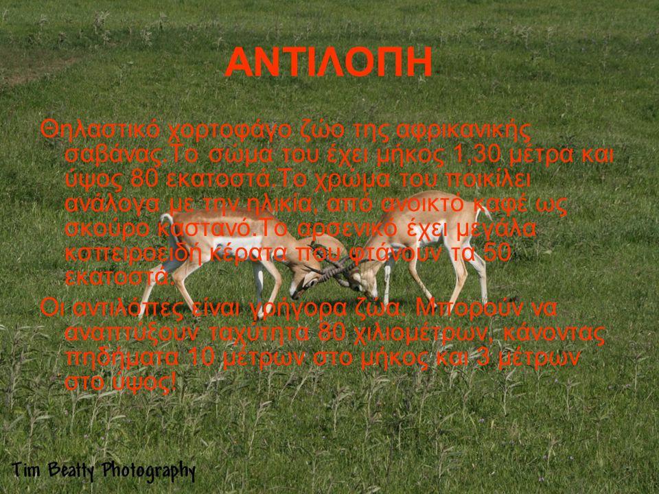 ΑΝΤΙΛΟΠΗ Θηλαστικό χορτοφάγο ζώο της αφρικανικής σαβάνας.Το σώμα του έχει μήκος 1,30 μέτρα και ύψος 80 εκατοστά.Το χρώμα του ποικίλει ανάλογα με την η