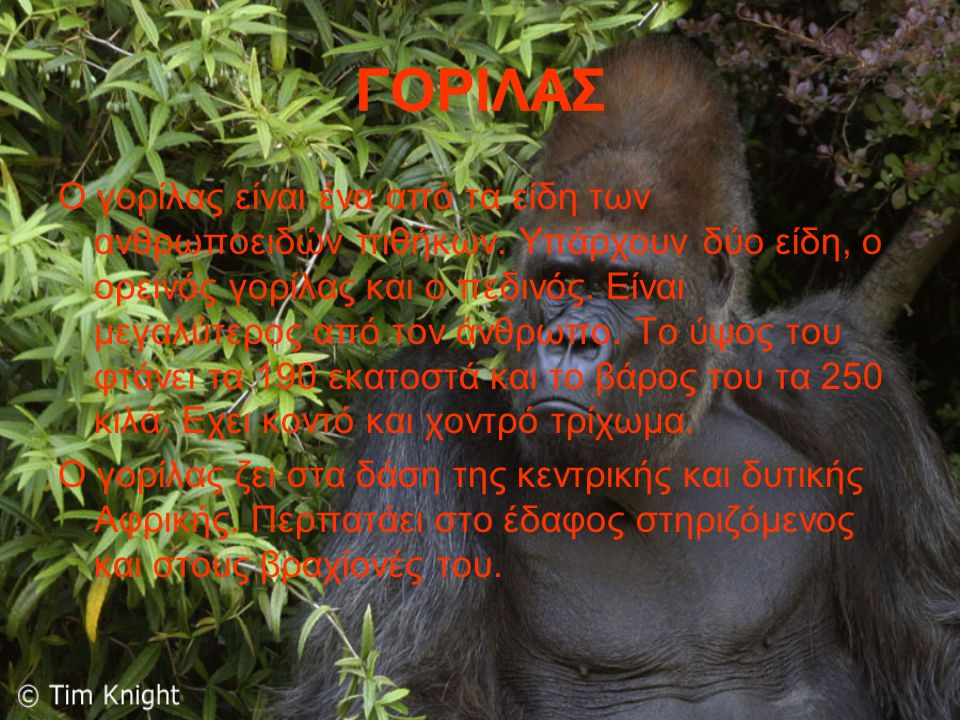 ΓΟΡΙΛΑΣ Ο γορίλας είναι ένα από τα είδη των ανθρωποειδών πιθήκων. Υπάρχουν δύο είδη, ο ορεινός γορίλας και ο πεδινός. Είναι μεγαλύτερος από τον άνθρωπ