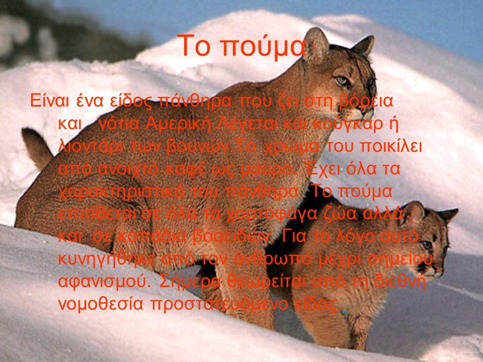 Το λιοντάρι Είναι απ΄ τα πιό δυνατά και επιβλητικά θηλαστικά..