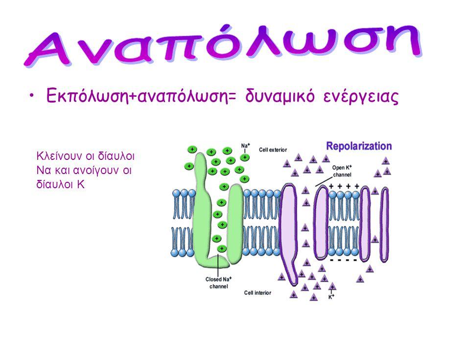 Άνοιγμα δίαυλων Να και είσοδος Να+ στο εσωτερικό του Κυττάρου
