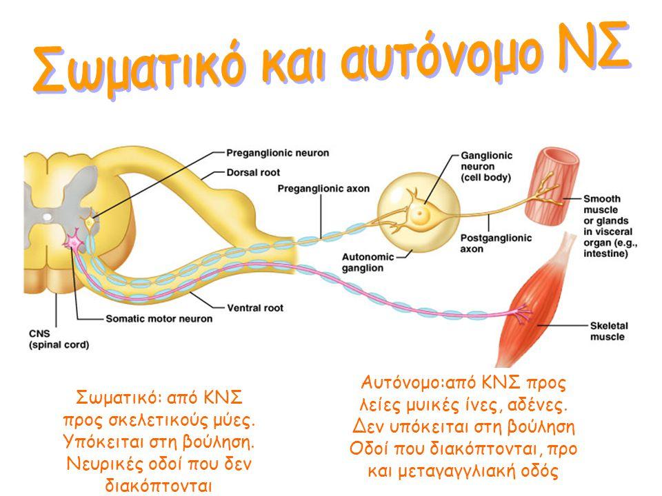 Σωματικό: από ΚΝΣ προς σκελετικούς μύες Αισθητικό: από περιφέρεια προς ΚΝΣ