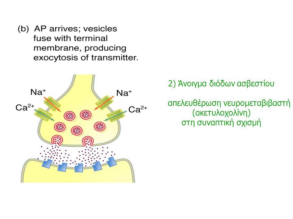 1. Άφιξη νευρικού ερεθίσματος (δυναμικό ενέργειας) στις τελικές απολήξεις του προσυναπτικού νευρώνα